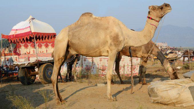 Zwei essende Arabische Kamele (Dromedar) mit einem Nomadenzelt auf einem Wagen