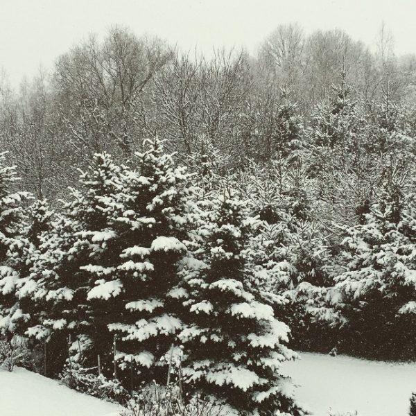 Schnee auf Tannen
