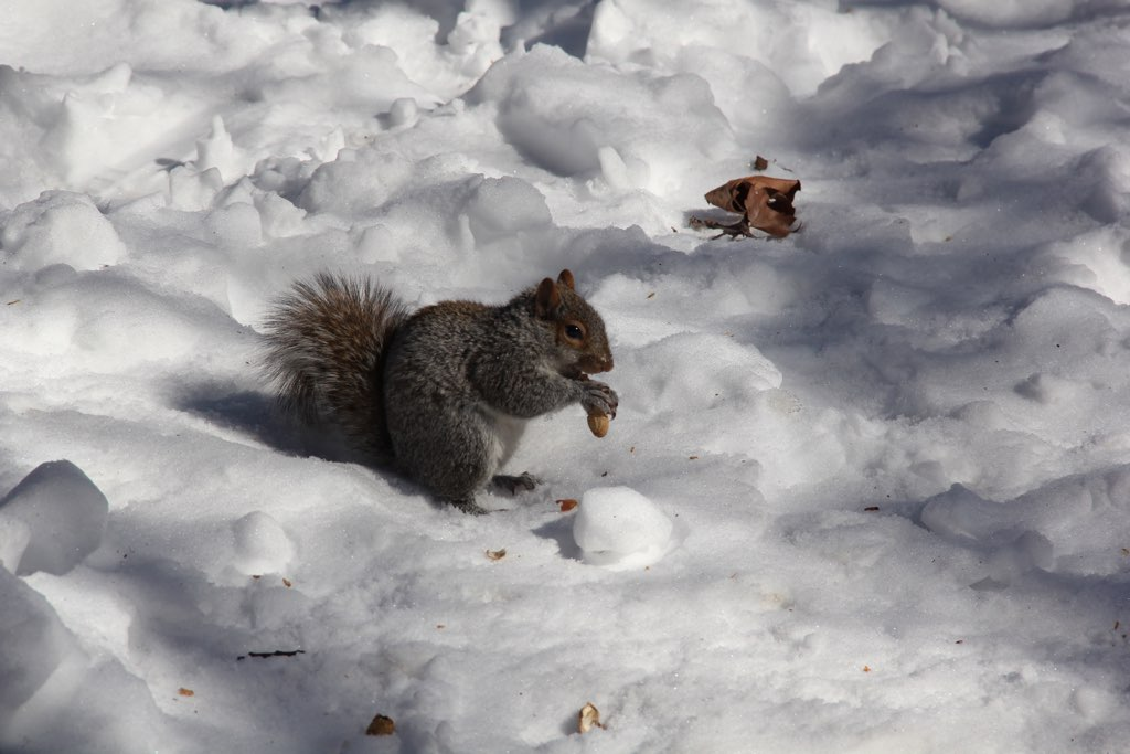 Eichhörnchen mit Nuss sitzt im Schnee
