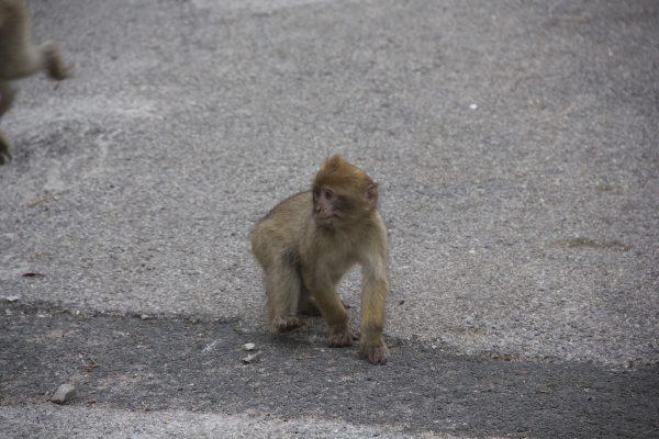 Kleines Äffchen in Gibraltar