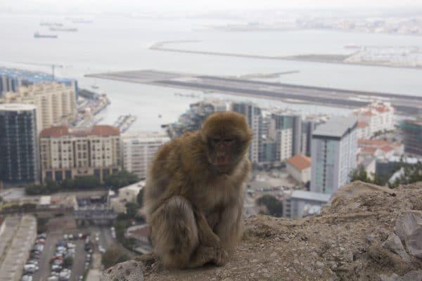 Affe vor der Skyline von Gibraltar