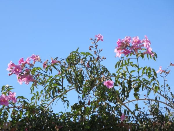 Rosa blühende Blüten vor strahlend blauem Himmel