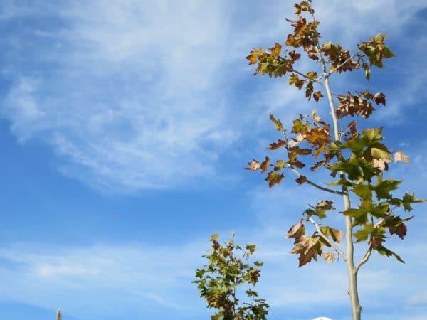 Eine junge Kastanie mit braunen Blättern vor einem blauen Himmel