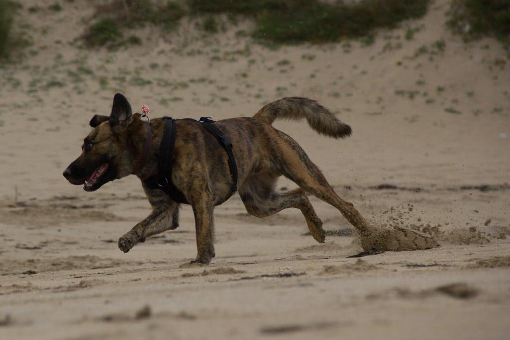 Ein Hund rennt mit wehenden Ohren und stiebendem Sand über den Strand