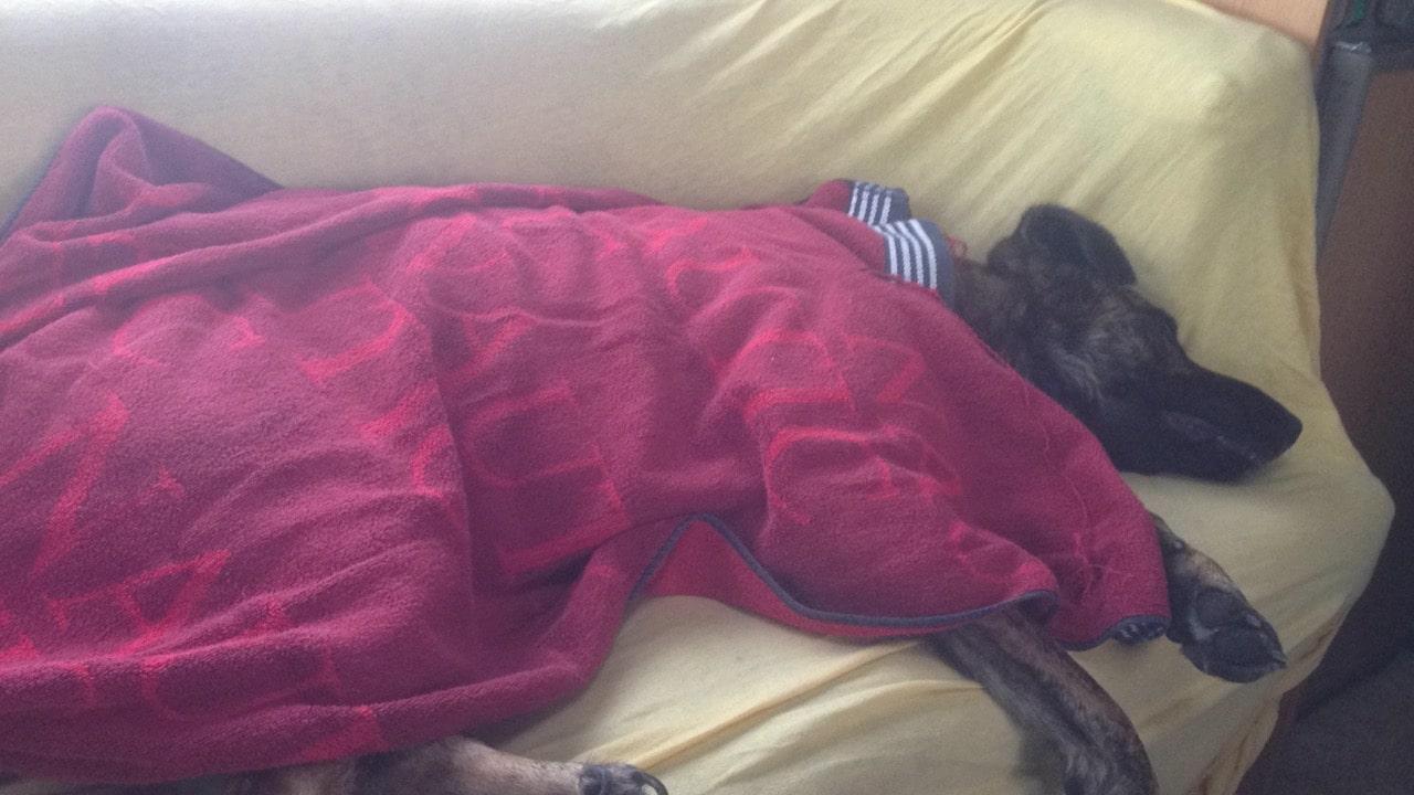 Ein Hund liegt auf einem gelben Sofa mit einem roten Handtuch zugedeckt