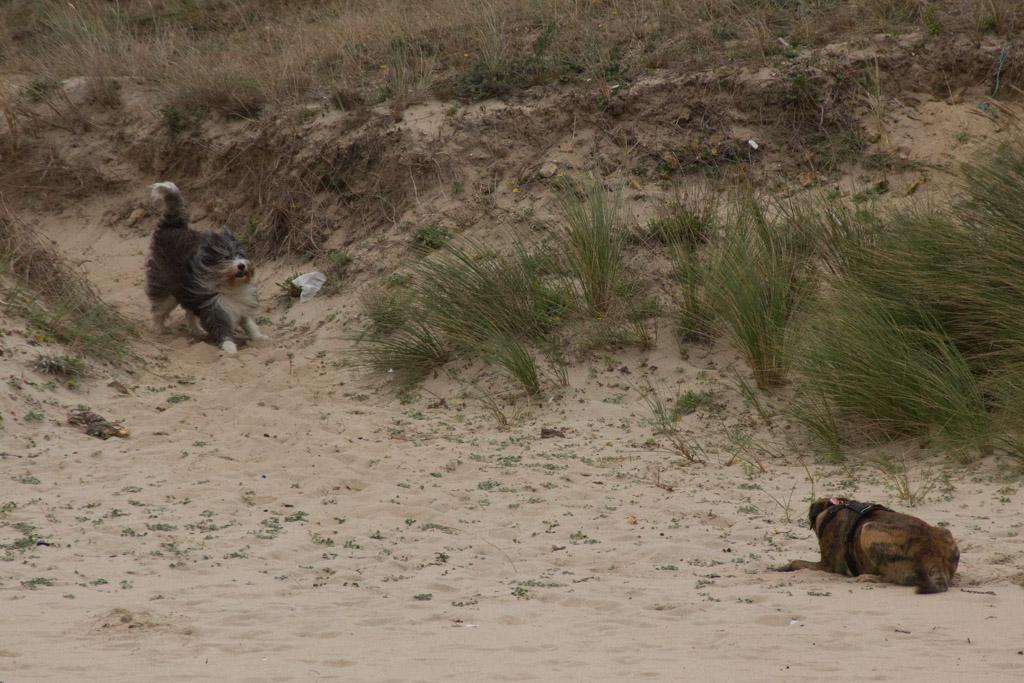 Ein Hund rennt mit wehendem Fell auf einen wartenden Hund am Strand zu