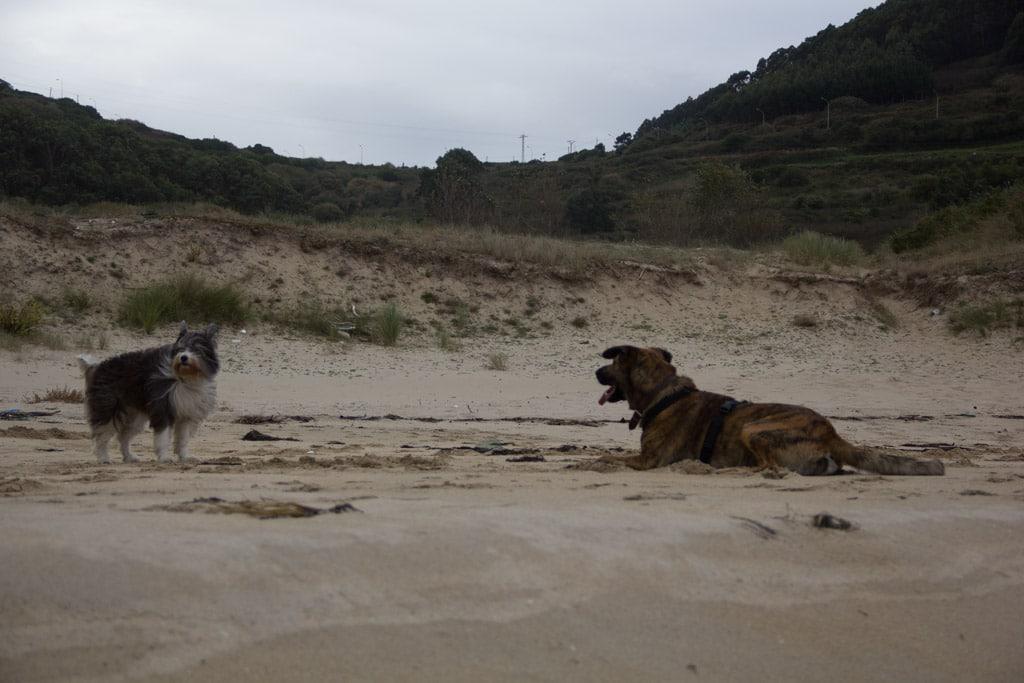 Zwei Hunde stehen sich windzerzaust an einem Strand gegenüber.