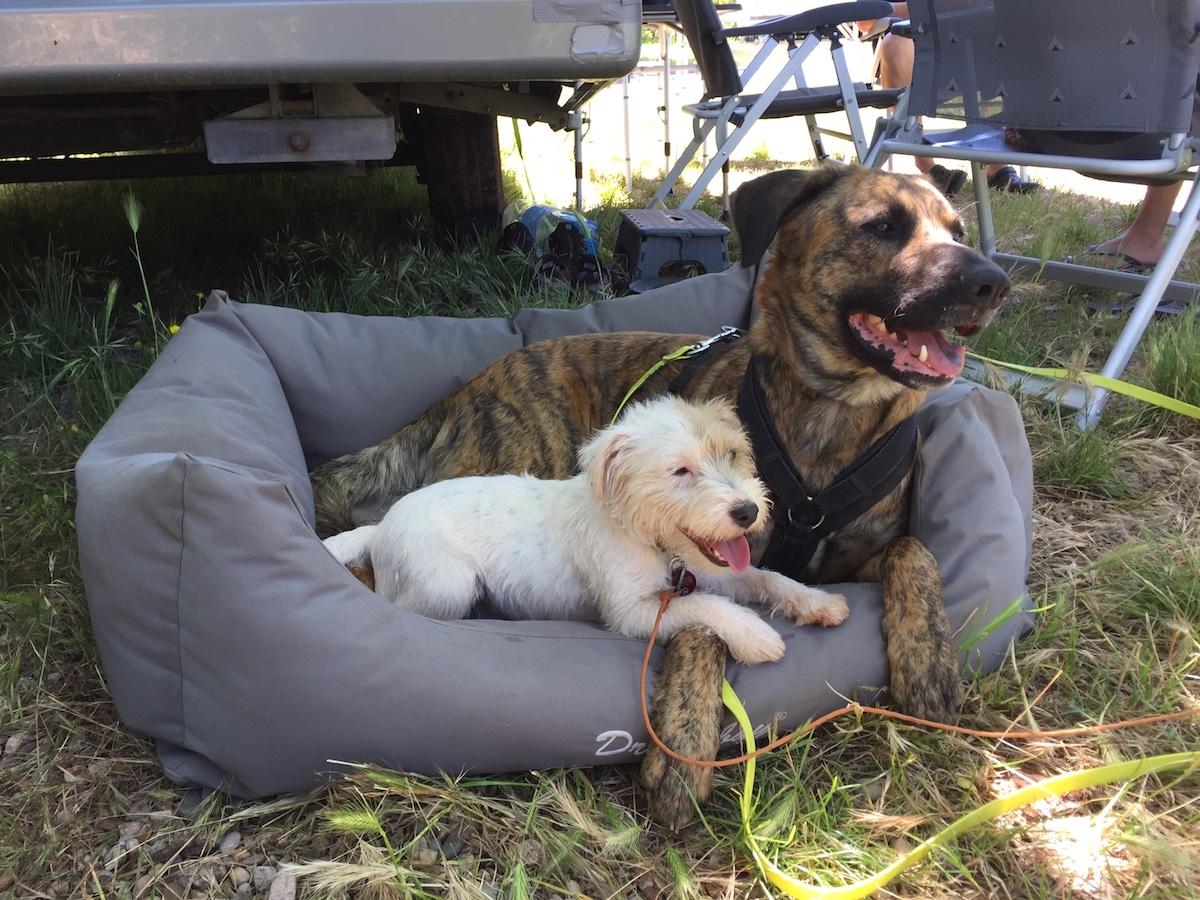 Zwei Hunde liegen in einem Körbchen