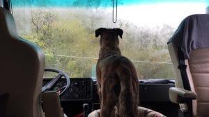 Unser Hund Chief steht auf seiner Decke an der Frontscheibe eines Wohnmobiles